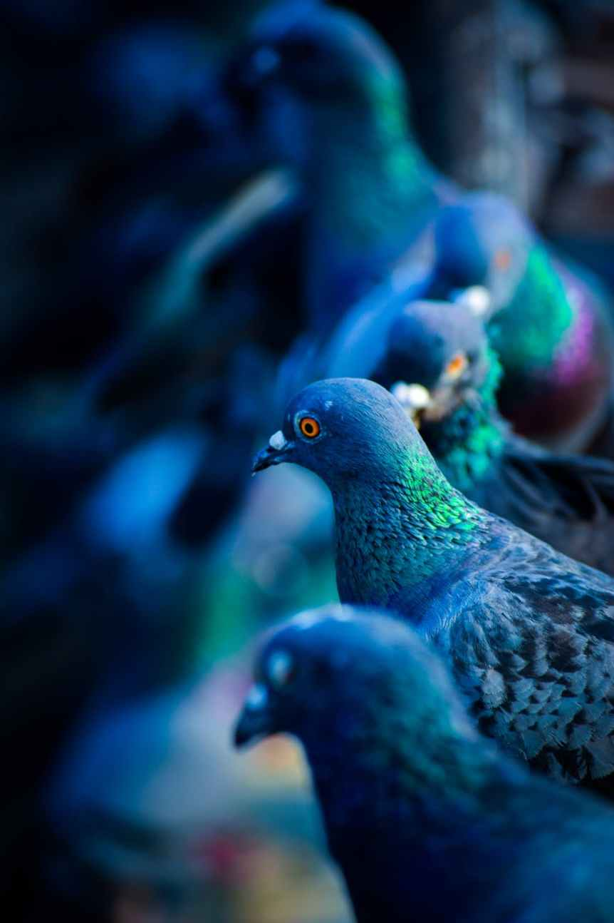 flock of green and blue pigeons